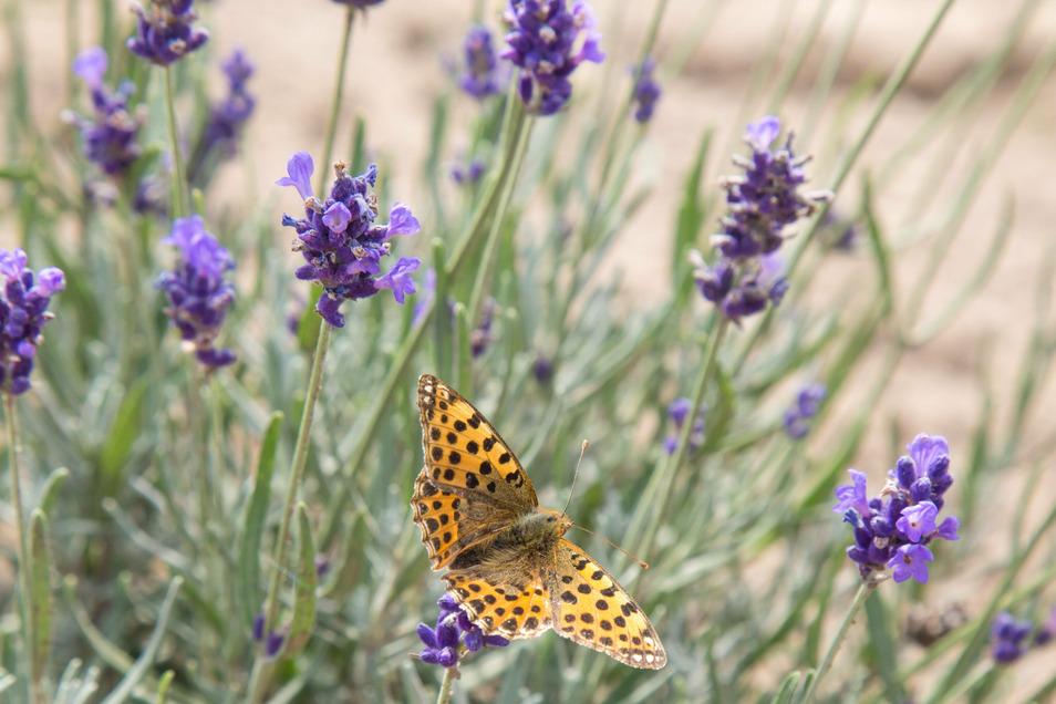 """Für Schmetterlinge, aber auch Bienen, Hummeln und andere Insekten, ist das Lavendelfeld ein """"gefundenes Fressen"""". Zudem unterstützt es die eigene Honigproduktion."""