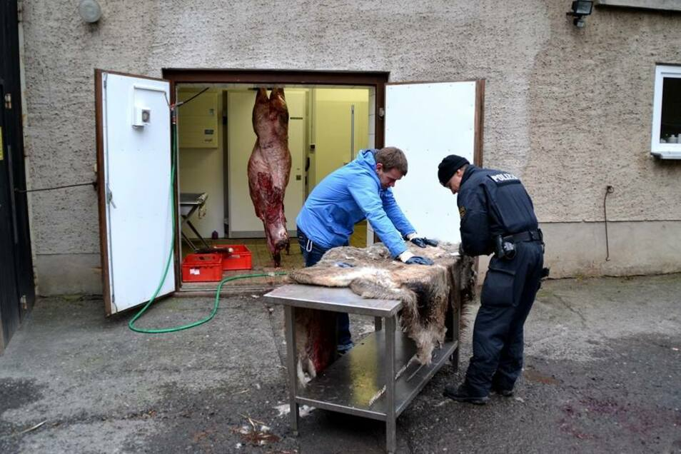 In der Neujahrsnacht haben Unbekannte im Moritzburger Wildgehege einen seltenen weißen Hirsch getötet und enthauptet. Nach der Spurensicherung im Gehege wurde der Hirsch obduziert.