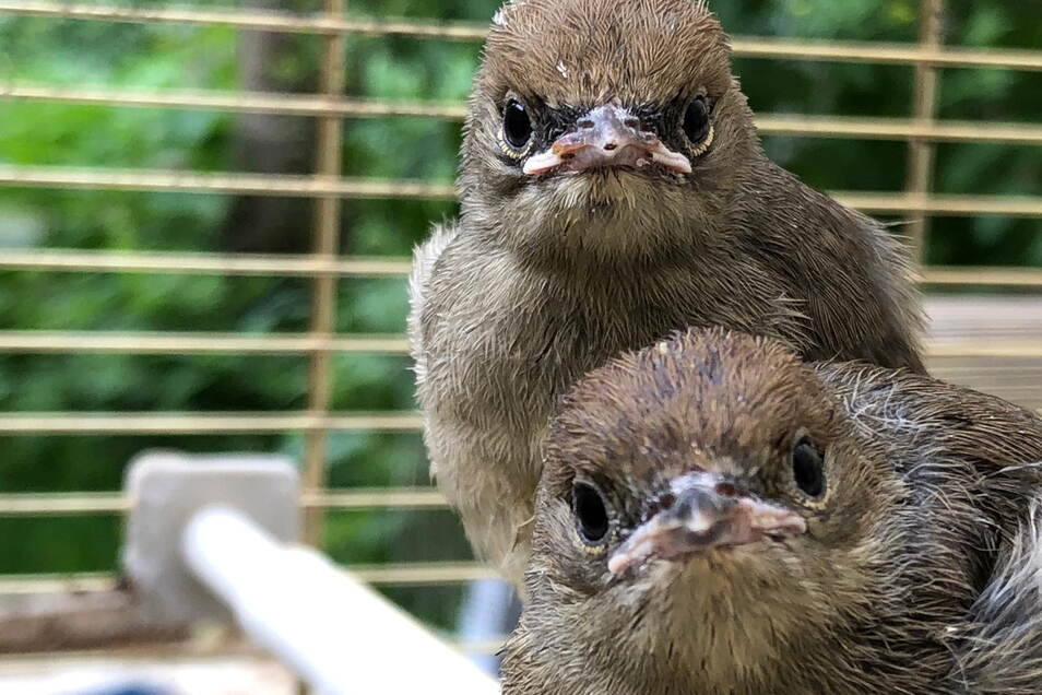Diese beiden Mönchsgrasmücken sind zwei von derzeit etwa fünfzig Vögeln, die Zoohändler Uwe-Jens Bartling in Pirna in Pflege hat.