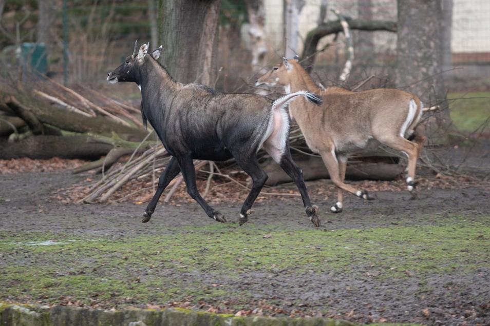 Keine Besucher mehr gewöhnt: Beim Anblick des SZ-Fotografen mit seiner Kamera ergreifen die Nilgau-Antilopen die Flucht. Sie werden sich nach der Öffnung des Zoos wohl erst wieder an die Menschenmassen gewöhnen müssen.