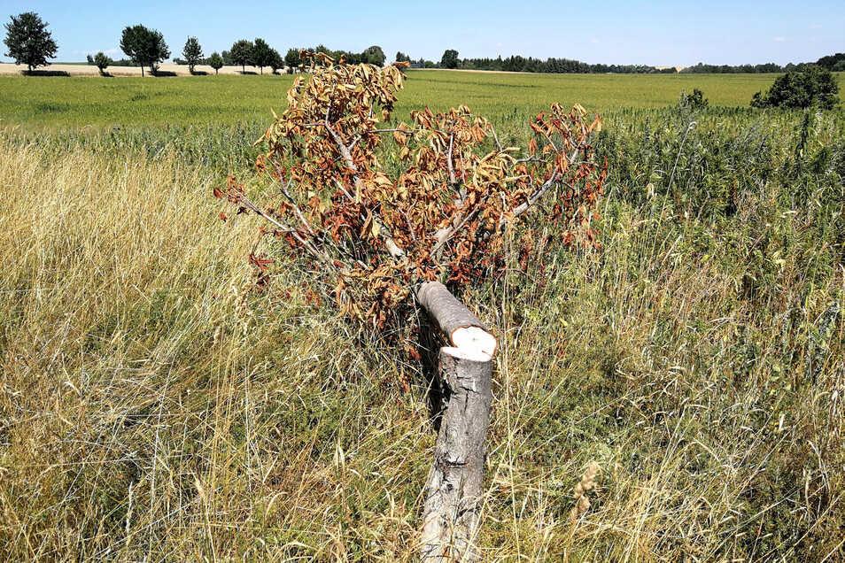 Diese Kastanie am Höllochweg wurde vor einem Monat umgesägt. Inzwischen sind die Blätter abgestorben.