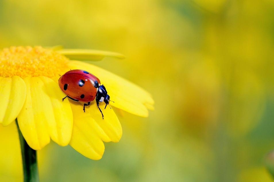 Der Marienkäfer gilt als Glücksbringer, doch viele seiner Arten sind in Sachsen selten geworden.