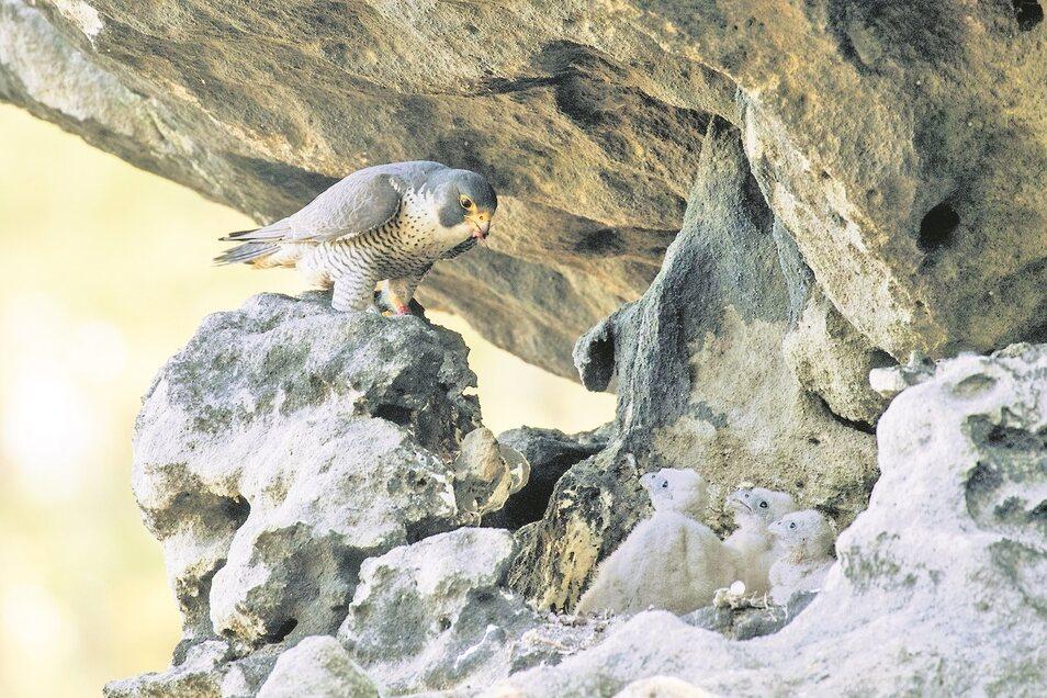 Ein Erfolg aus 20 Jahren Nationalpark Böhmische Schweiz - die Wiederansiedlung des Wanderfalken.