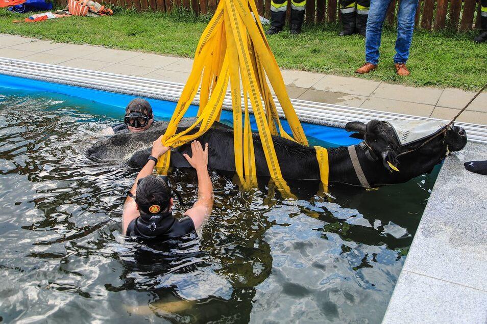 Einsatzkräfte der Feuerwehr bergen die Kuh aus einem Swimmingpool im obersteirischen Apfelberg.