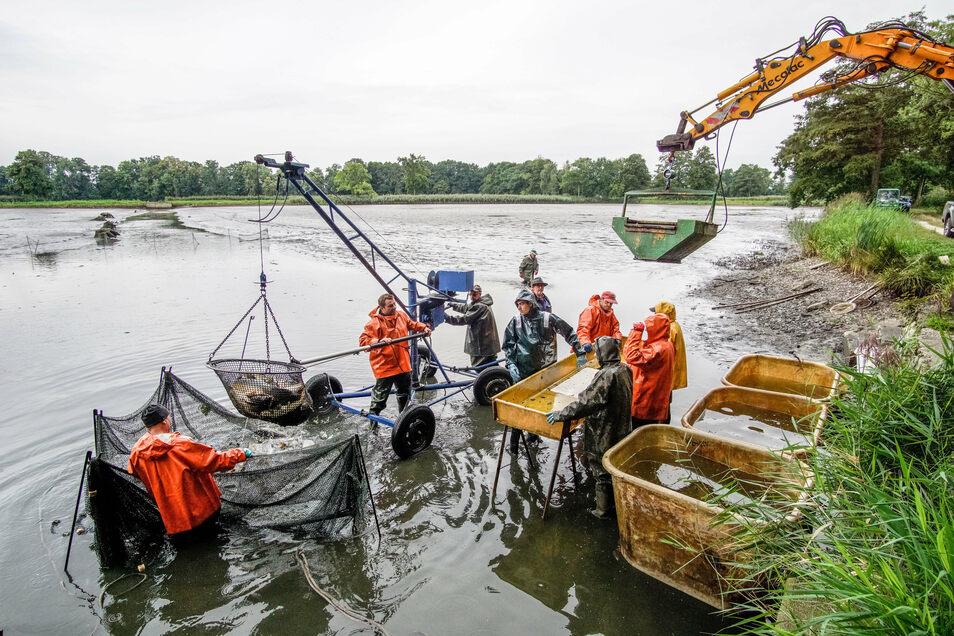 Keine leichte Arbeit für die Fischer der Teichwirtschaft.
