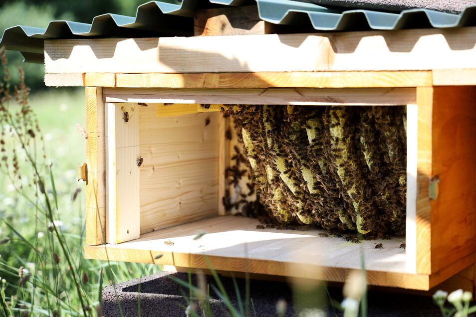 Ein Blick in den neuen Bienenstock - vom Sprungbrett e.V. gezimmert.