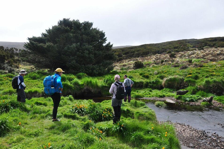 Besucher der subantarktischen Campbell Island stehen vor der einzelnen Sitka-Fichte, die als der einsamste Baum der Welt gilt. Die Fichte hat es sogar ins Guinness-Buch der Rekorde geschafft.