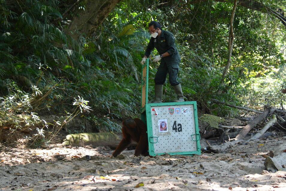 Eines der Tiere bei der Freilassung im Dschungel.