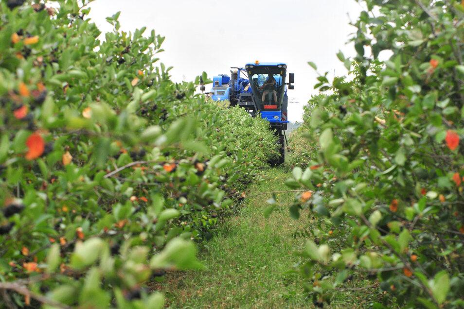 Aroniabeeren werden mithilfe eines Vollernters abgeerntet. In Sachsen wird die Strauchbeere am häufigsten angebaut.