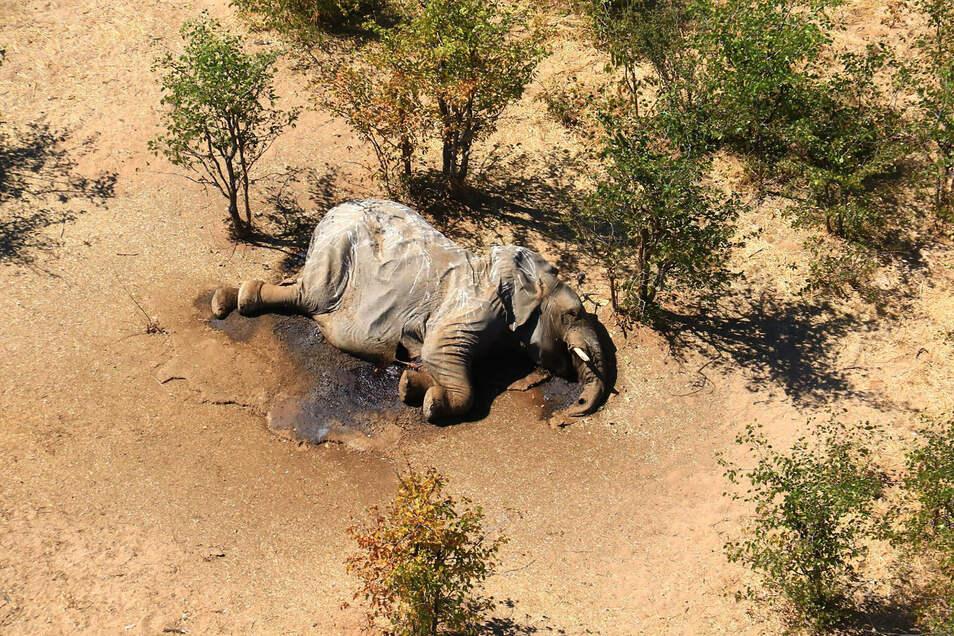 Im südafrikanischen Safari-Paradies Botsuana treibt ein mysteriöses Elefantensterben Tierschützer um.