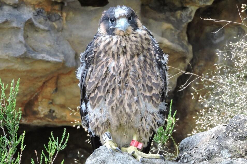 Der Falke ist im Bielatal aus dem Horst gefallen. Er überlebte nur durch Handaufzucht.