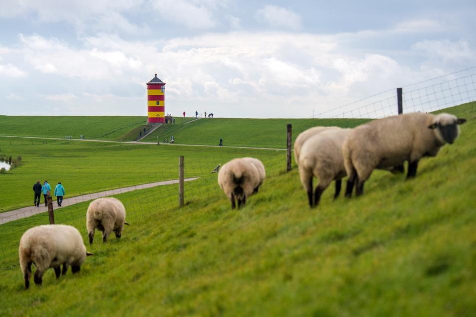 Ostfriesische Idylle: Schafe grasen auf dem Deich vor dem Pilsumer Leuchtturm.