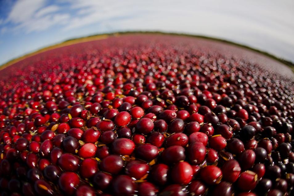 Ursprünglich wächst die Cranberry in Nordamerika und Asien. Familie Ilgen baut die roten Vitamin-C-Spender, die auch als Moosbeeren bekannt sind, seit 2014 in Klingenberg an. Die herben Früchte haben eine leichte Säure und eignen sich für Aufstriche, Smoothies, Müslis. Ein Kilogramm kostet sechs Euro. Foto:Andy Manis/WISCONSIN STATE CRANBERRY GROWER/EPA/dpa