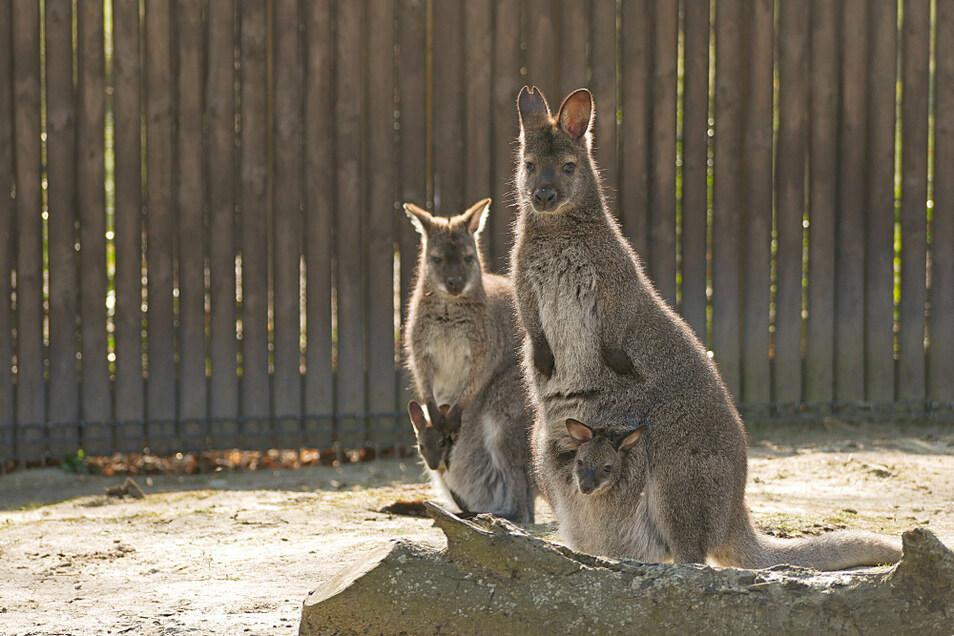 Nachwuchs bei den Bennett-Kängurus im Zoo Hoyerswerda: Neugier ist ja gut und schön – aber im Beutel von Mutti ist es derzeit wohl doch sicherer.