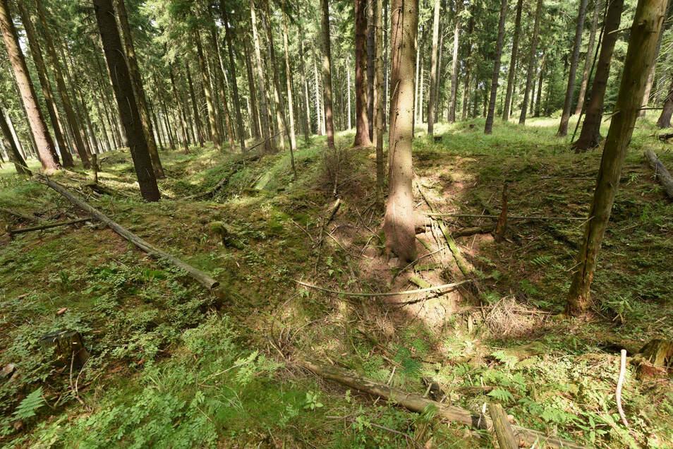 Pingen zeigen, wo einst im vorderen Grünwald bei Schellerhau Bergbau betrieben wurde. Vielleicht verraten andere Überreste von Holzkohle beispielsweise, wie damals der Wald ausgesehen hat, sicherlich anders als der heutige Fichtenforst.