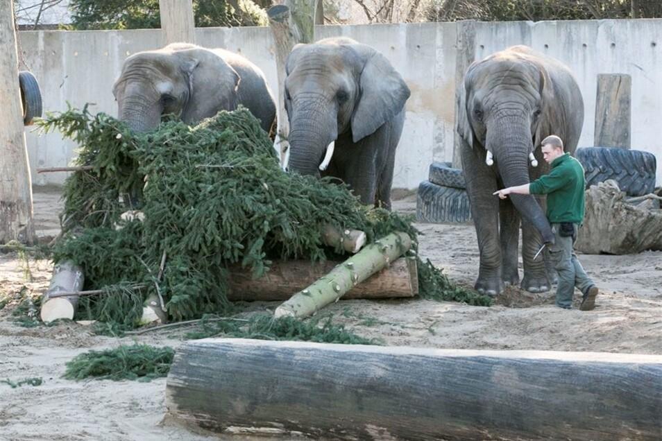 Hilft Tembo den Damen Drumbo, Sawu und Mogli nächstes Jahr beim Weihnachtsbaum-Mahl?
