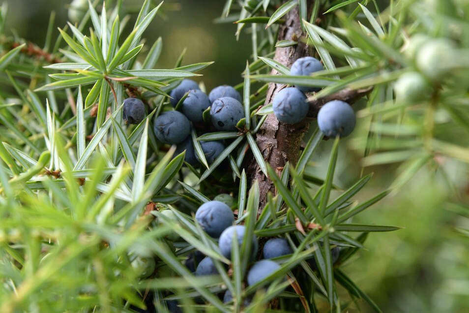 Sehen aus wie Beeren, sind aber keine: Die weiblichen Früchte des Wacholders sind Zapfen, deren fleischige Schuppen verwachsen sind. So entsteht der Eindruck, es handele sich um eine Beere.