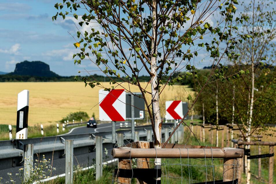 Trockene Blätter, kein frisches Grün: Den neu gepflanzten Birken an der B 172 fehlt Wasser.