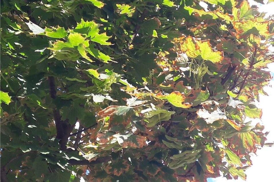 Welke Blätter wie im Herbst hängen an den Ahornbäumen in der Radebeuler Gartenstraße. Die Ränder des Laubs sind schon braun.