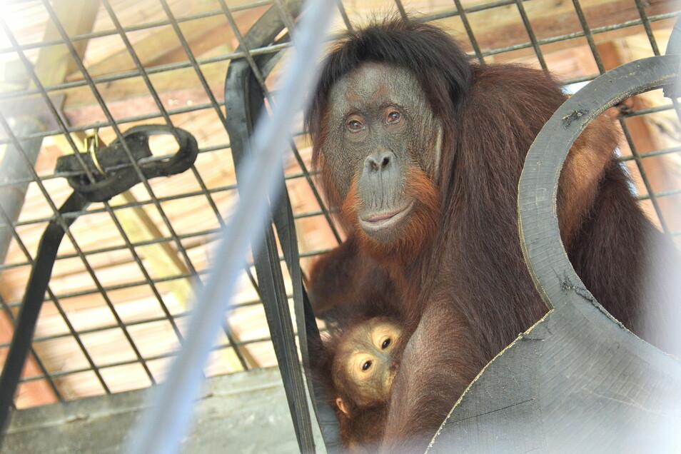 Orang-Utan-Mutter Disha und ihr Junges Deijo warten in der Rettungsstation Nyaru Menteng auf ihre Auswilderung