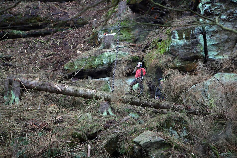 Klettern für die Sicherheit Baupfleger von Spezialfirmen fällen abgestorbene Fichten im Kirnitzschtal.