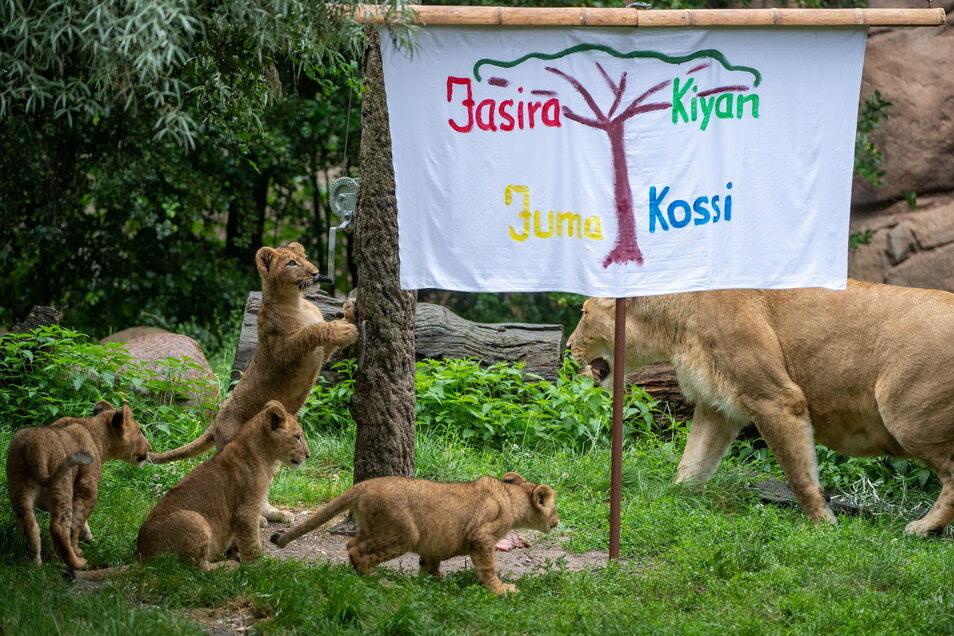Familie Löwe im Zoo Leipzig