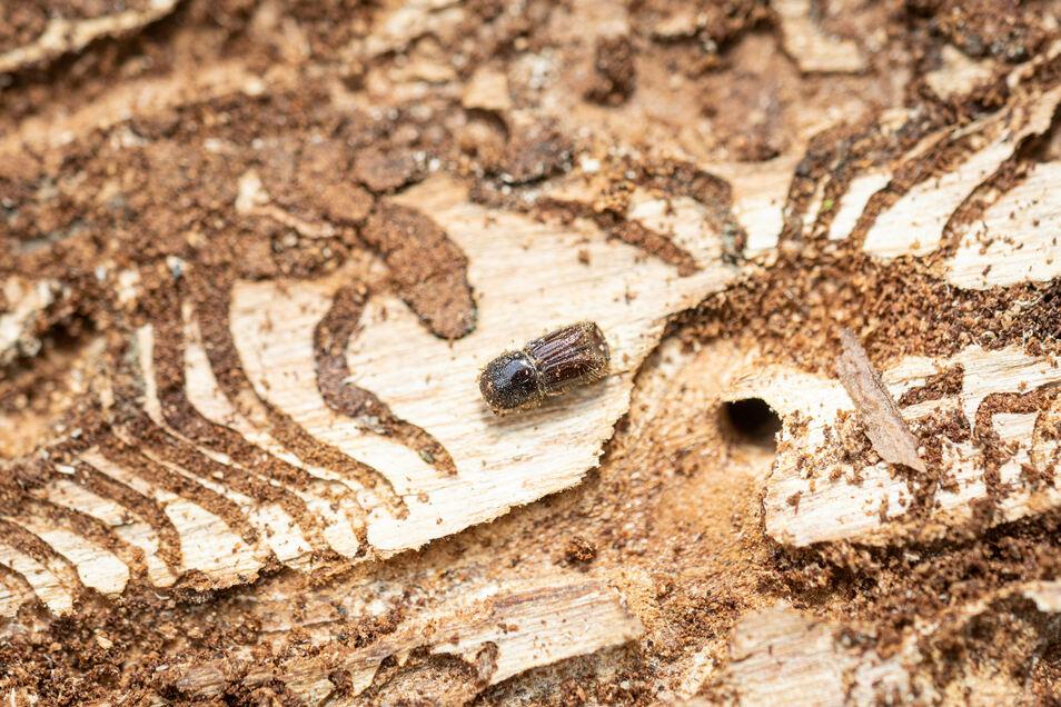 Ein Borkenkäfer und seine Spuren in der Rinde einer toten Fichte. Hierbei handelt es sich um einen toten Altkäfer, der es nach Ablegen der Eier nicht mehr aus der Rinde heraus geschafft hat.