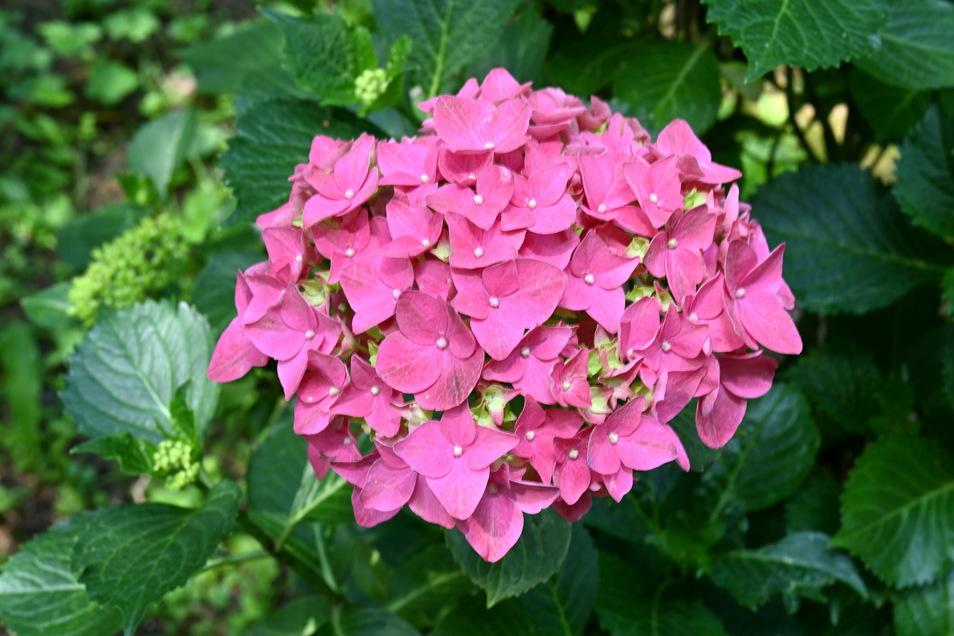 """Die ersten Hortensien blühen schon, wie diese der Sorte """"Alpenglühen"""". Ende Juli beginnt im Schloss die Hortensienschau."""