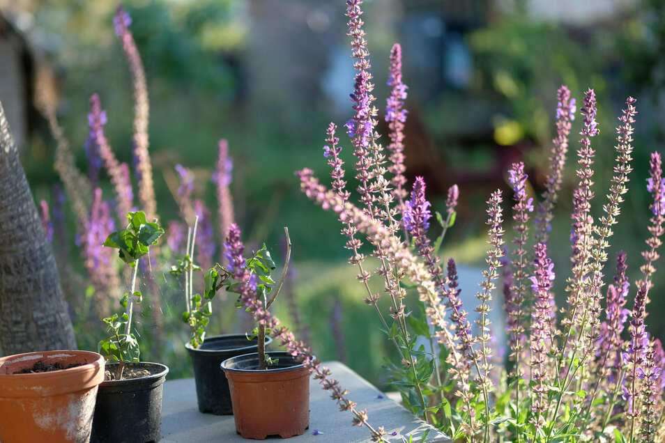 Lavendel und zahlreiche Kräuter verströmen nicht nur einen angenehmen Duft. Sie finden auch im Haushalt Verwendung. Und am Abend tragen sie zur Entspannung bei, wenn Anne Hübschmann beim Wässern die Ruhe und den Anblick ihrer Pflanzen, Blumen, Sträucher und Bäume genießt.