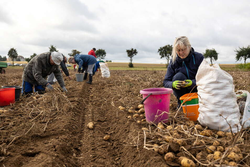 Auf dem Acker in Oberhäslich fanden sich am Freitag zahlreiche Kartoffelleser ein. Sonnabend wird noch mal gesammelt.
