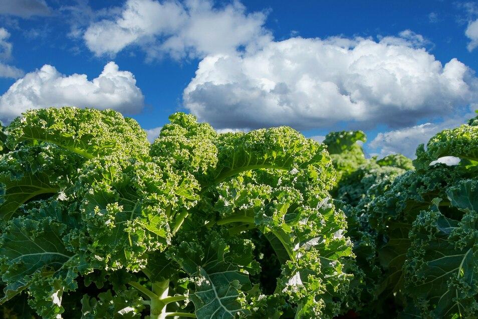 Kein Wald, sondern ein Grünkohl-Feld – immer mehr Menschen achten auf eine pflanzliche Ernährungsweise und essen weniger Fleisch.
