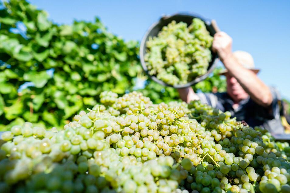 Ein Bild, das in den nächsten Wochen in den mitteldeutschen Weinlagen häufig zu sehen sein wird. Die Lese hat begonnen.
