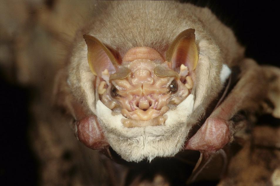 Männchen der Greisengesicht genannten Fledermausart lassen für das Liebesspiel ihre Maske fallen.