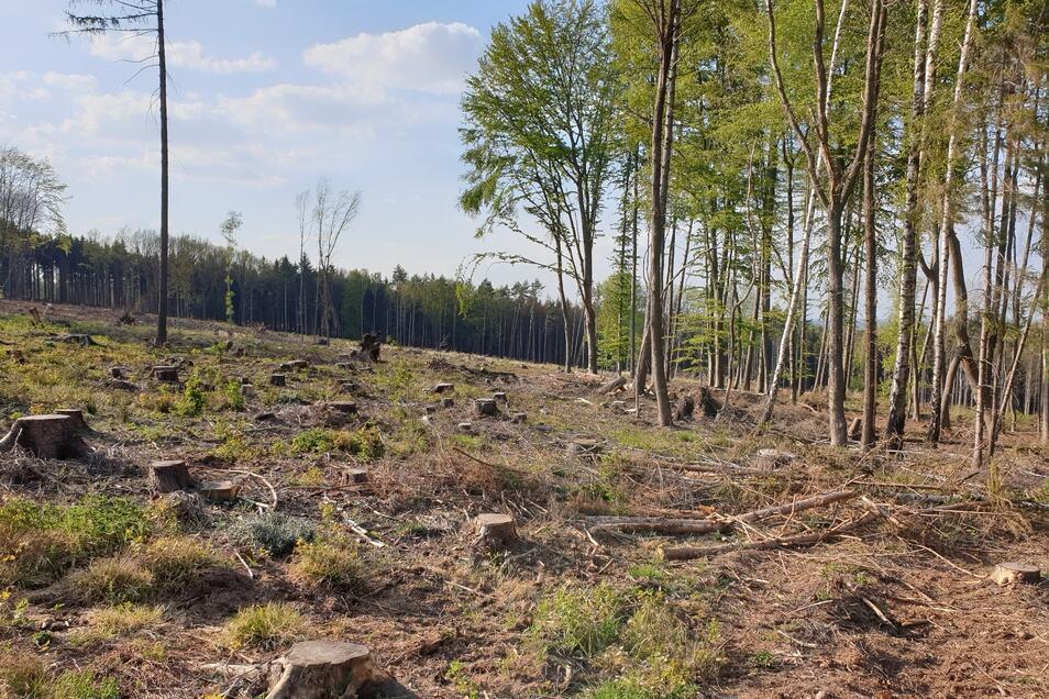 Das Landschaftsbild verändert sich in den Königshainer Wäldern komplett: Kaum ein Baum bleibt verschont.