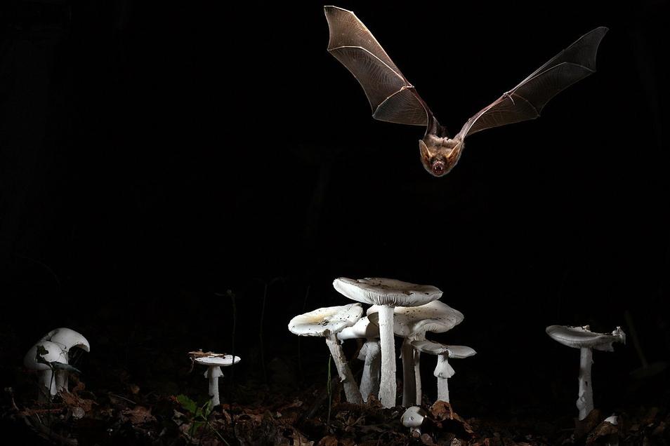 Lautloser Superheld: Fledermäuse besitzen Eigenschaften, die die Menschen staunen lassen. Dresdner Forscher zeigen nun, warum ihr Erbgut dafür eine wichtige Rolle spielt.