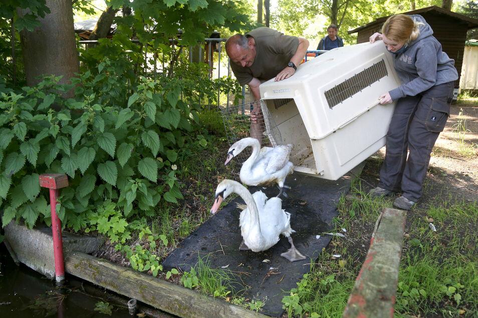 Unwillig in die Freiheit: Die Tierpark-Mitarbeiter Michael Tobis und Cecile Missal müssen die Transportkiste erst ganz weit kippen, bis die zwei Höckerschwäne am Merzdorfer Teich heraus plumpsen.