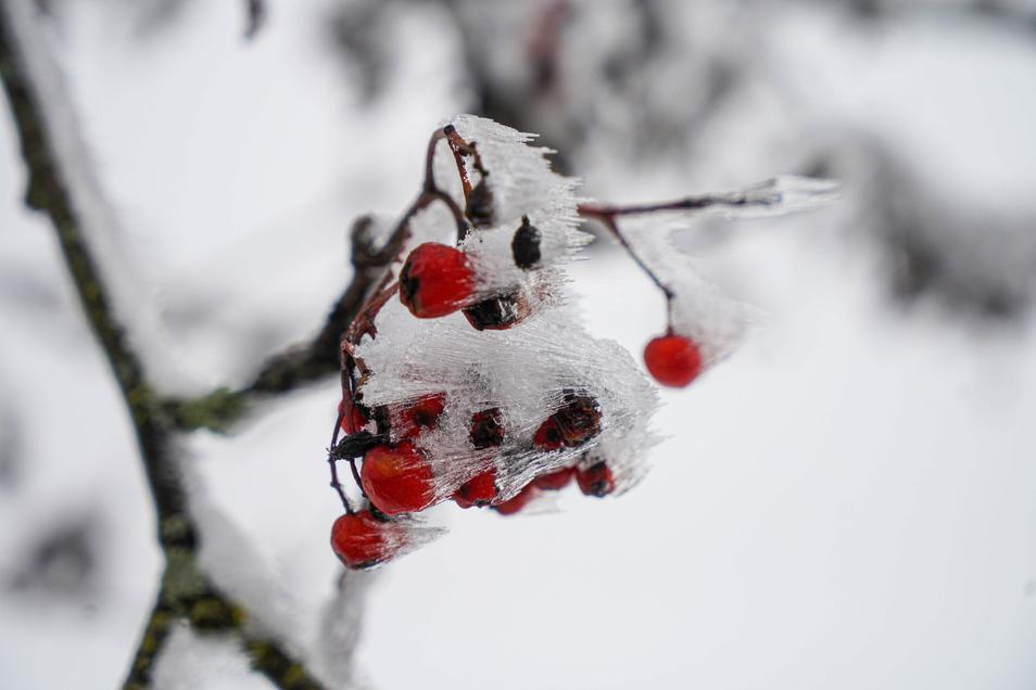 Wer aufmerksam durch die Sächsische Schweiz streift, kann sich auch an Details erfreuen, wie an einem mit Eiskristallen überzogenen Vogelbeerstrauch.