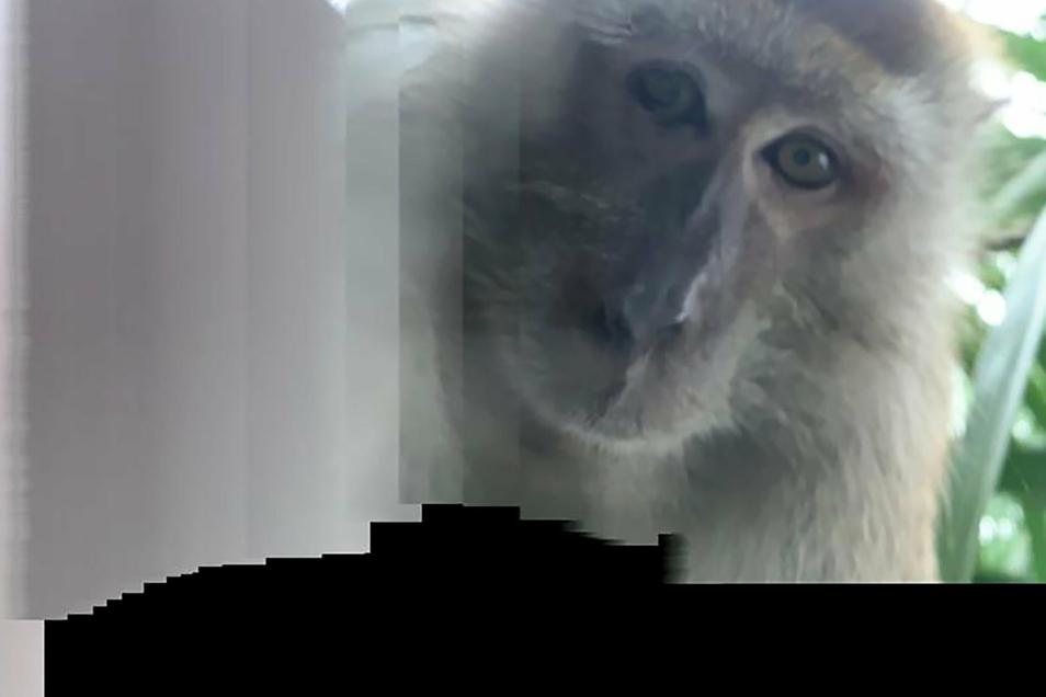 Das Foto zeigt einen Affen, der ein Selfie mit einem geklauten Smartphone fotografiert hat.