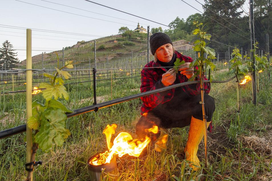 In der Weinlage Goldener Wagen, unterhalb der Friedensburg, hat Winzer Friedrich Aust Dienstagnacht Frostschutzfeuer zwischen den Rebreihen angezündet. Die Temperaturen sind vor allem in den Morgenstunden ins Minus gerutscht.