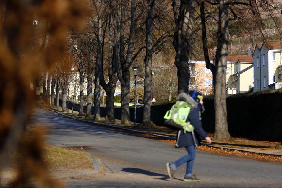 An der Eduard-Bilz-Straße reiht sich ein Baum an den anderen und macht den Straßenzug durchs Radebeuler Villenviertel zu einer schmucken Allee.