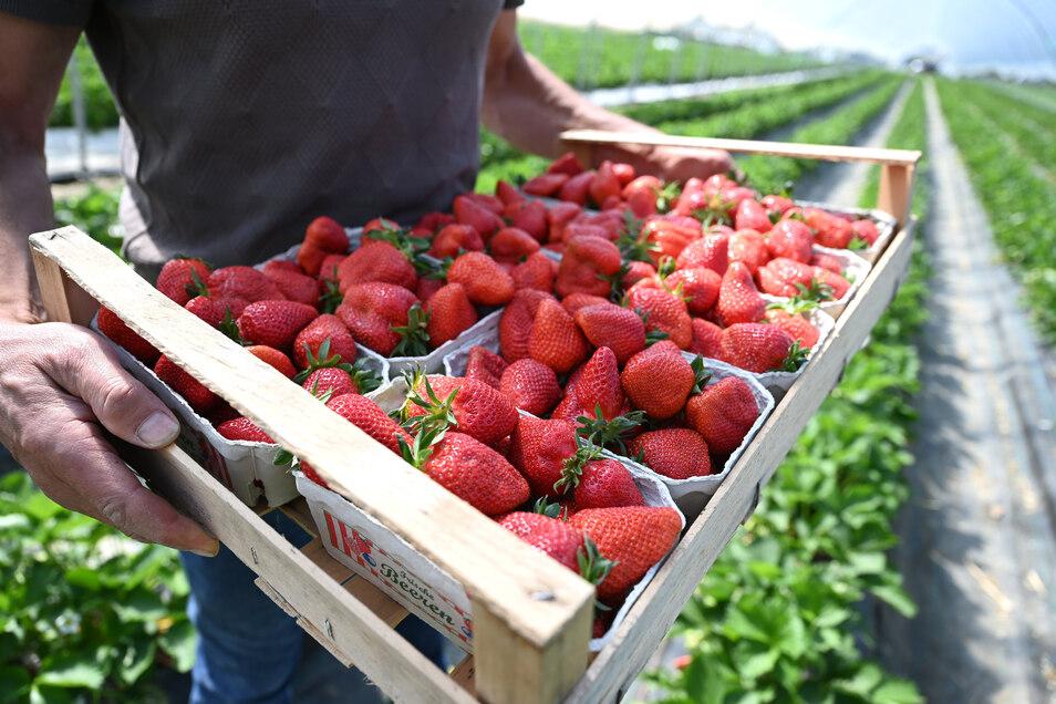 Das sieht lecker aus: Auf Feldern bei Weißig, Bischofswerda und Großnaundorf gibt es Erdbeeren zum selbst pflücken. Die Preise sind ganz unterschiedlich.