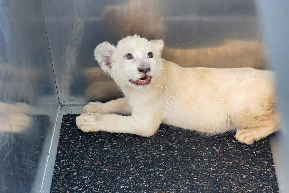 Das bei einem Transport-Unfall gerettete weiße Löwenbaby sitzt bei seiner Ankunft im Reptilium Landau in einer Box.