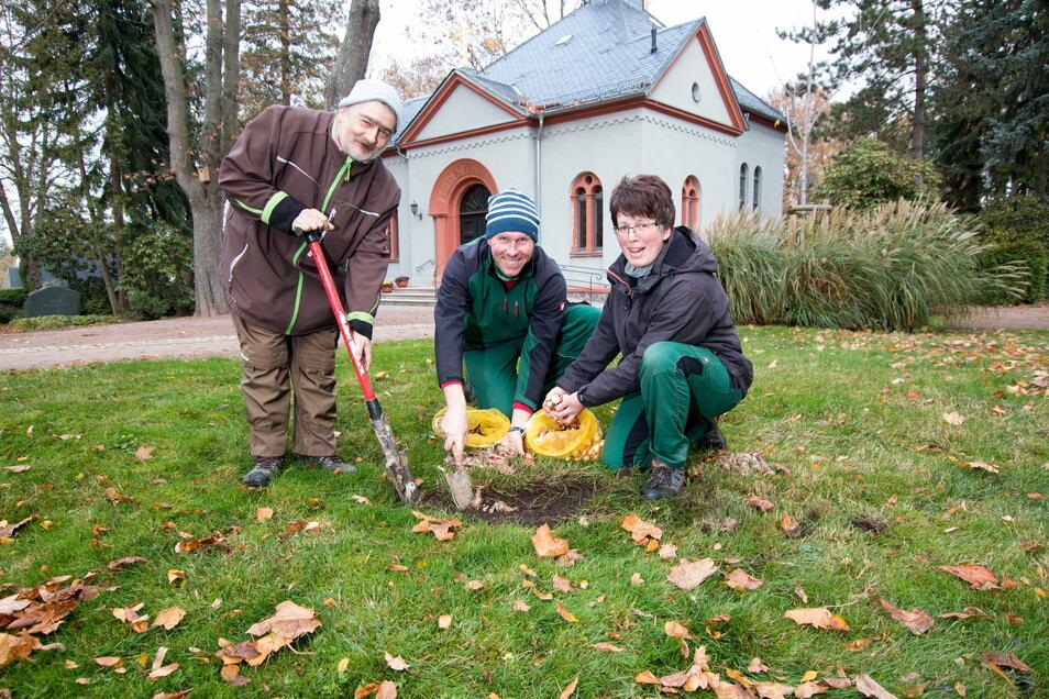 Andreas Haferland, Sebastian Markert und Manuela Geißler haben in den vergangenen Tagen 1.000 Blumenzwiebeln auf dem Harthaer Friedhof gepflanzt.