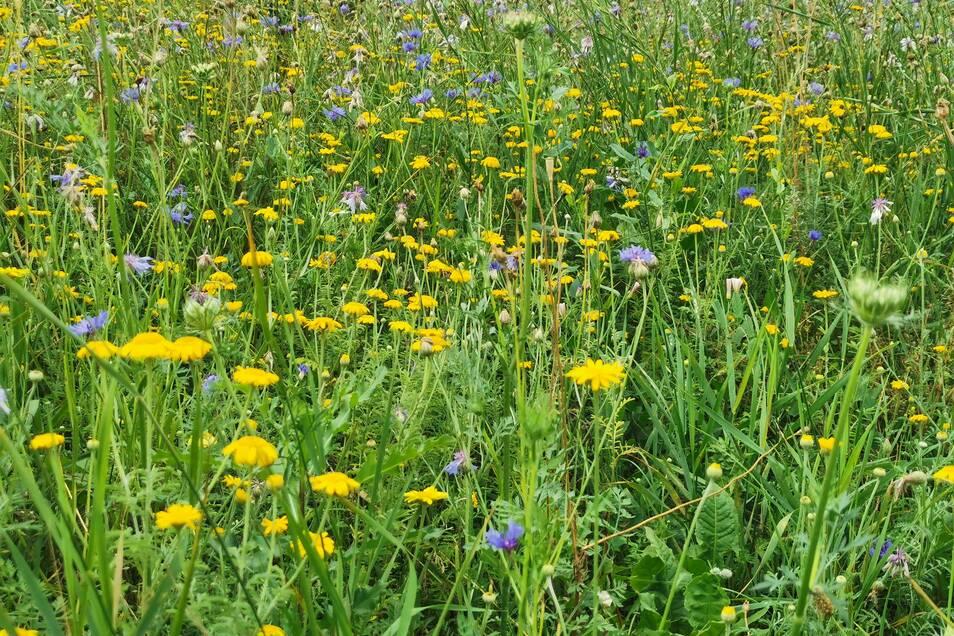 Kornblumen, Spitzwegerich, Färber-Hundskamille und viele weitere Pflanzen zieren die Blühwiese.