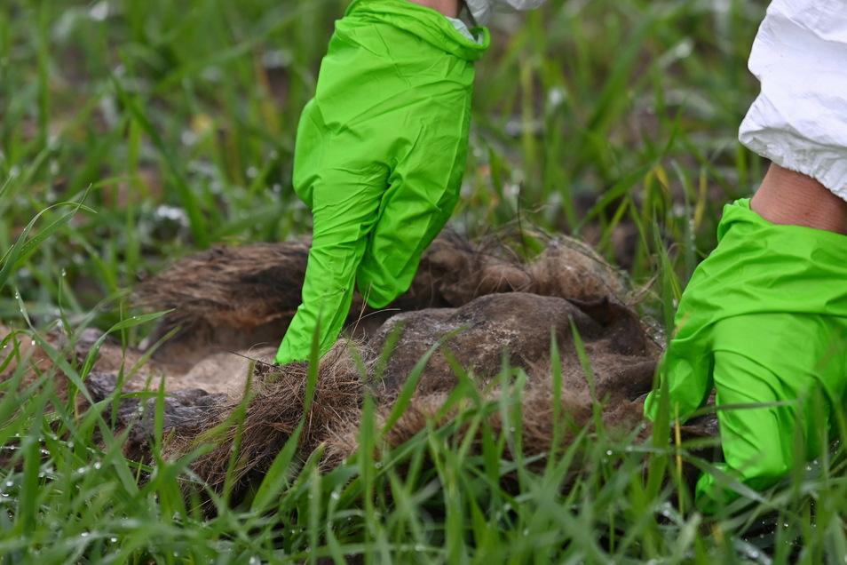 Eine Veterinärmedizinerin untersucht den Fund eines Wildschweinkadavers.