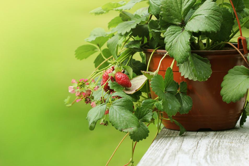 Nicht nur einfacher im Anbau sondern auch ein schönes Gestaltungselement: Erdbeeren im Topf statt auf dem Feld.