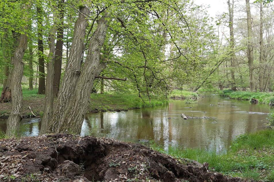 Der Großen Röder gewissermaßen ins Herz geschaut. So naturnah soll das Gewässer im besten Fall einmal aussehen.