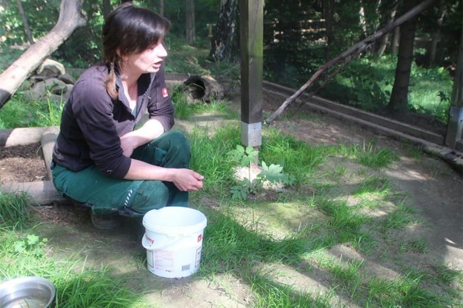 Der Tierpflegerin, im Bild Maika Naß, weichen diese Tiere aus. Nur aus sicherer Entfernung zu ihr holen sie sich ihre Beute, mit der sie rasch verschwinden.