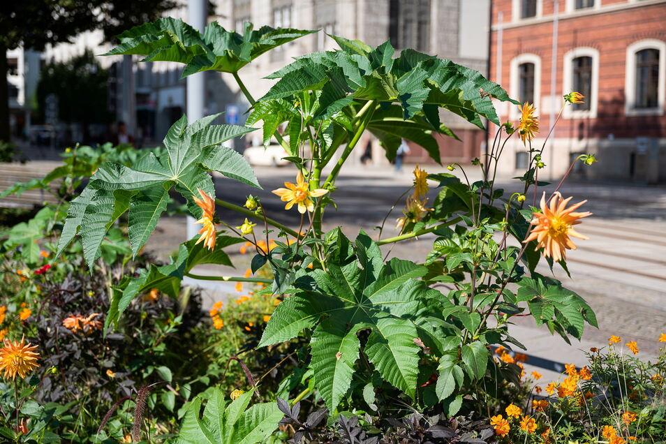 Rizinuspflanze in der Blumenrabatte auf dem Postplatz in Görlitz. Die orangefarbenen Blüten sind jedoch Dahlien.