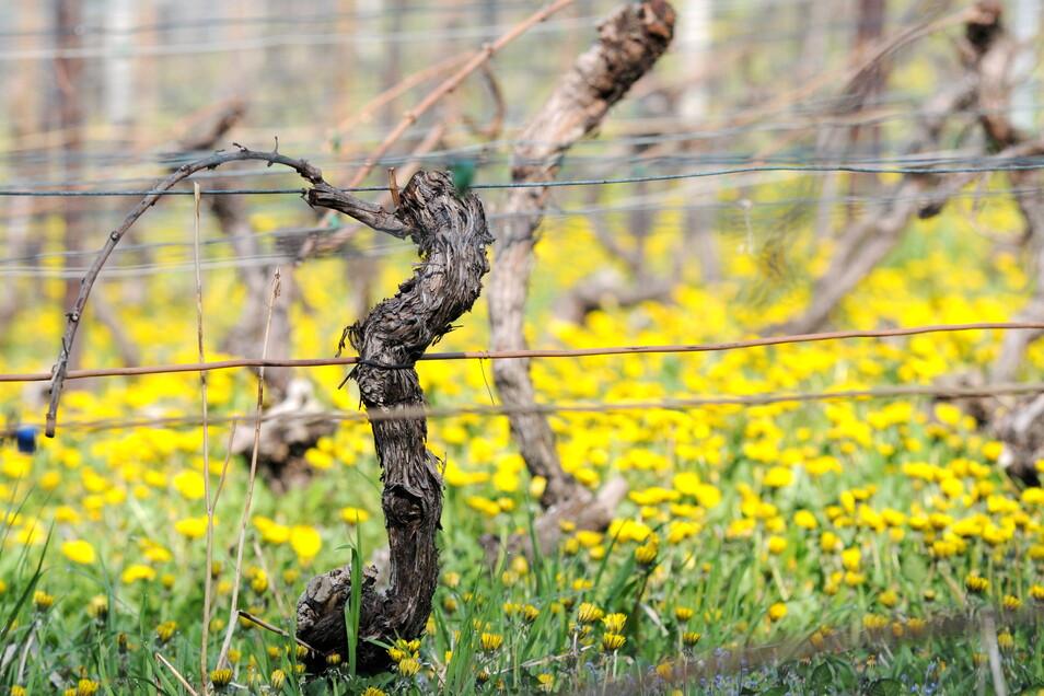 Gar nicht so bekannt: 50 Weinstöcke wachsen in der Meißner Altstadt. Der Tourismusverein und seine Helfer kümmern sich um sie.